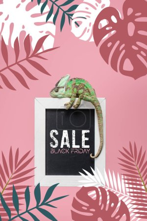 green chameleon on blackboard with black friday sale isolated on pink with monstera and palm leaves