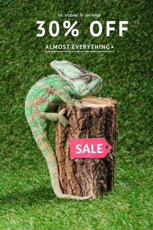 beautiful bright green chameleon climbing on stump with sale tag, with 30 percents off for shopping