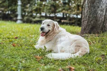 cute playful golden retriever dog lying on green grass in park