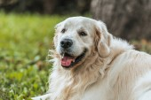 close-up view of adorable playful golden retriever dog resting on grass in park
