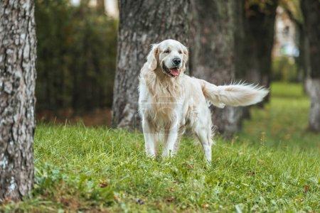 Photo pour Commandes de chien adorable retriever golden ludique sur l'herbe dans le parc - image libre de droit