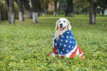 Photo pour Mignon chien golden retriever enveloppé dans le drapeau américain assis sur l'herbe dans le parc - image libre de droit