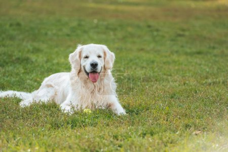adorable golden retriever dog lying with tongue out on grass in park