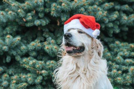 cute retriever dog in santa hat sitting near fir tree in park
