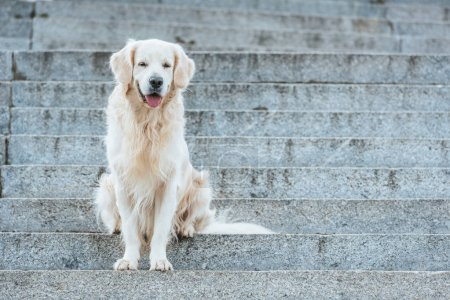 beautiful golden retriever dog with tongue out sitting on stairs
