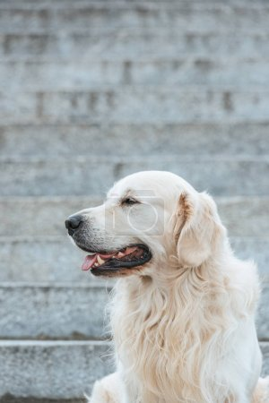 Photo for Beautiful retriever dog with tongue out sitting on stairs and looking away - Royalty Free Image