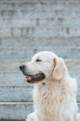 beautiful retriever dog with tongue out sitting on stairs and looking away