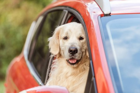 cute funny retriever dog sitting in red car and looking at camera through window