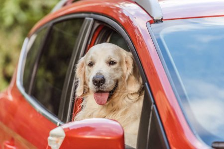 beautiful golden retriever dog sitting in red car and looking at camera through window