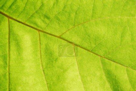 Nahaufnahme der grünen Blattadern