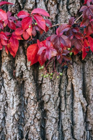 close up view of old grey tree bark with red leaves