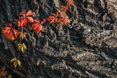 close up view of old grey tree bark with orange leaves