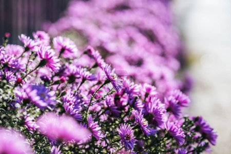 Close up view of beautiful purple fresh flowers in garden