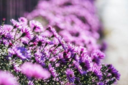 Foto de Cerrar vista de hermosas flores púrpura frescos en jardín - Imagen libre de derechos