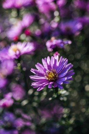 Bouchent la vue des belles fleurs fraîches fleurs pourpres