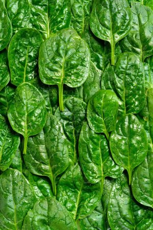 Background of green spinach leaves with water drops
