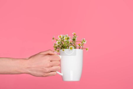 close-up partial view of hand holding cup with beautiful chamomiles isolated on pink