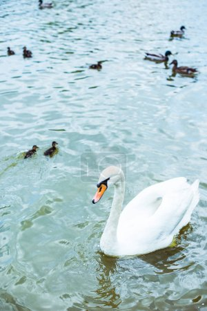 high angle view of white swan swimming in blue pond with adorable ducklings