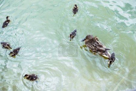high angle view of mother duck with her beautiful ducklings swimming in blue pond
