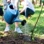 Cropped view of volunteer watering new tree...