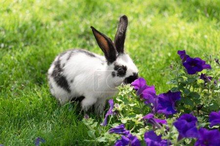 Photo pour Adorable lapin noir et blanc sur herbe verte reniflant fleurs de tabac violet - image libre de droit