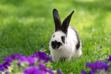 Photo pour Adorable lapin noir et blanc sur herbe verte près de fleurs de tabac violet - image libre de droit