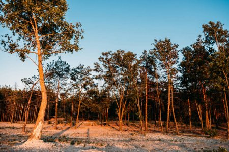 beautiful landscape with tall trees growing on sand at evening