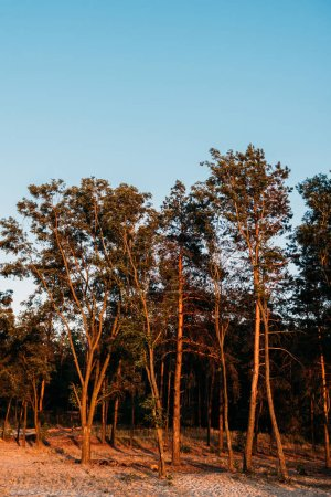 low angle view of beautiful tall trees against blue sky at evening