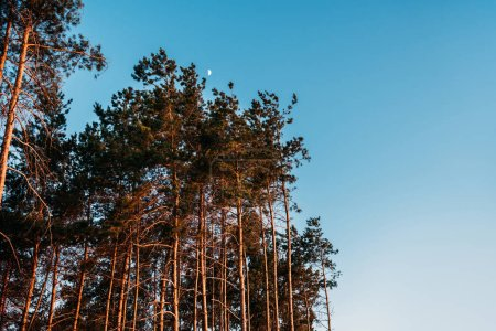 Photo for Beautiful landscape with tall trees against blue sky at evening - Royalty Free Image