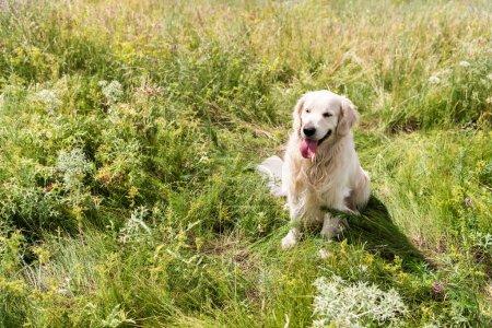 Photo pour Golden retriever chien assis sur l'herbe verte dans le champ - image libre de droit
