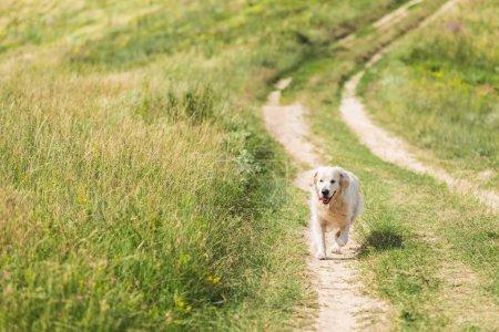 golden retriever dog walking on path on green meadow