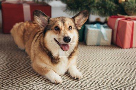 chien mignon corgi fourrure parsemée de coffrets cadeaux sous le sapin de Noël