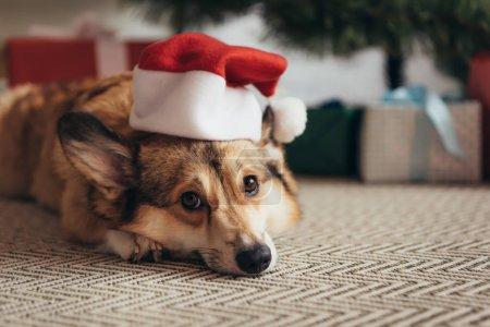 cute welsh corgi dog in santa hat lying under christmas tree