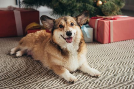 Photo for Cute welsh corgi dog lying under christmas tree with presents - Royalty Free Image
