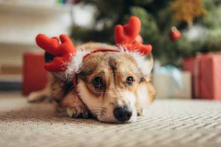 cute welsh corgi dog in deer horns lying under christmas tree