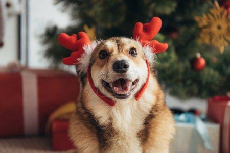 cute welsh corgi dog in deer horns on christmas