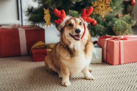 welsh corgi dog in deer horns under christmas tree with gift boxes