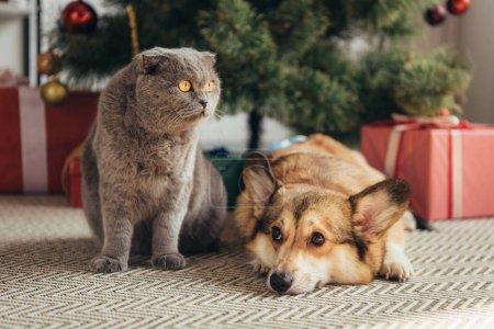 scottish fold cat and welsh corgi dog under christmas tree