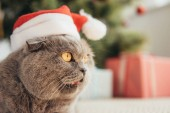 funny scottish fold cat in santa hat lying under christmas tree