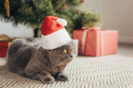 fluffy scottish fold cat in santa hat lying under christmas tree