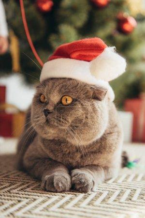 cute grey scottish fold cat in santa hat lying under christmas tree