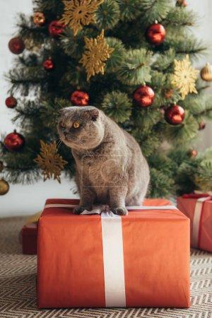 Photo pour Scottish fold chat assis sur coffret près de sapin de Noël - image libre de droit