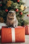 """Постер, картина, фотообои """"милые пушистые Шотландская вислоухая Кошка сидит на настоящее время возле елки"""""""