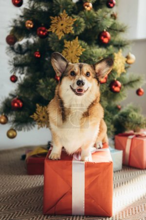 funny welsh corgi dog sitting on red gift box under christmas tree