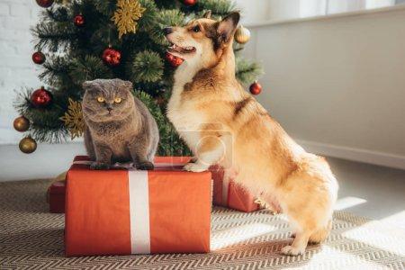 lindo perro corgi galés y gato plegable escocés en caja de regalo cerca del árbol de Navidad