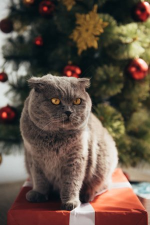 grey furry scottish fold cat sitting on gift box near christmas tree