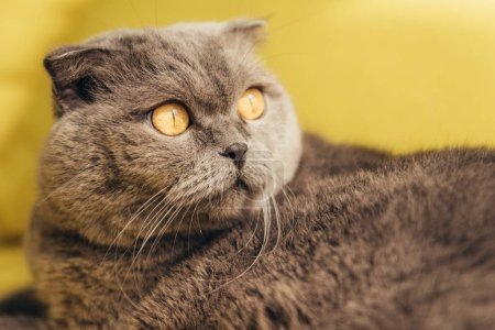 grey fluffy scottish fold cat on yellow