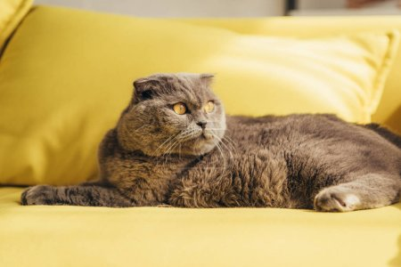 grey scottish fold cat on yellow sofa at home