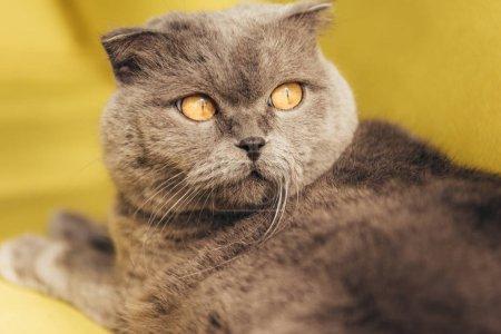 close up of grey furry scottish fold cat