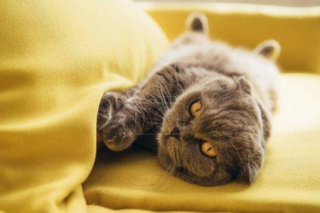 cute scottish fold cat lying on yellow sofa at home